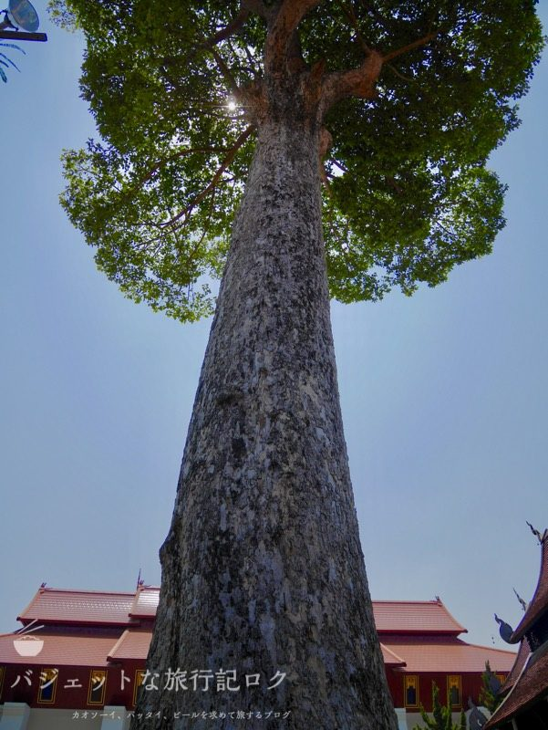 ワット・チェーディールワン(庭園にある樹齢xxx年の大きな木)